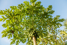 Growing Papaya (papaw Or Pawpa...