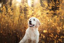 Golden Retriever In Autumn In ...