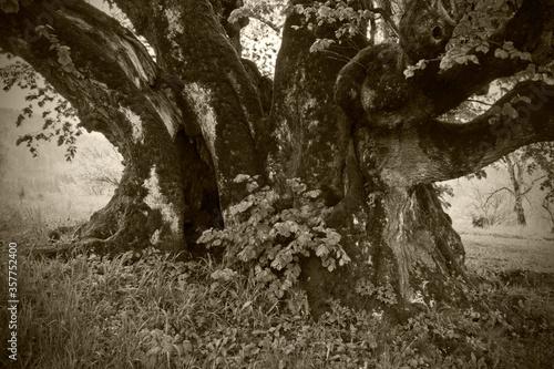 UEBELBACH, AUSTRIA - AUG 29, 2014: small leaved lime (tilia cordata), one of Aus Billede på lærred