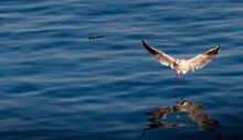 A Seagull Landing On Blue Wate...