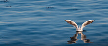 A Seagull Landing On Blue Water, With Its Reflection Visible.