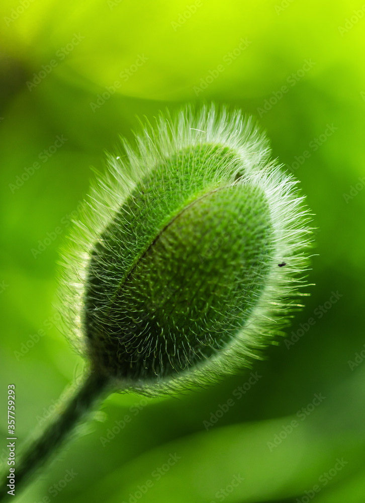 close up of a poppy bud
