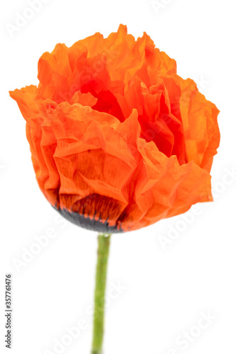 Photo close-up of a single poppy blossom, isolated on white