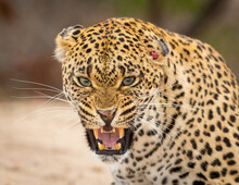One Adult Leopard Head Shot Snarling Looking At Camera In Kruger Park South Africa