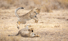 Two Young Cheetah Cubs Playing...