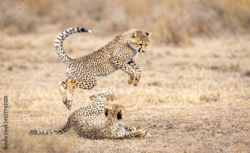 Obraz na plátně Two young Cheetah cubs playing in Ndutu Tanzania