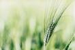 Leinwanddruck Bild - Close up sur un épi de blé vert dans un champ