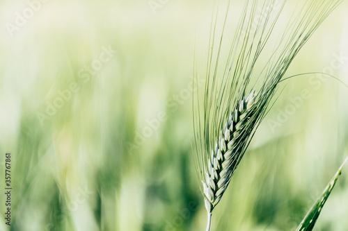 Vászonkép Close up sur un épi de blé vert dans un champ