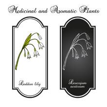 Loddon Lily Leucojum Aestivum , Or Summer Snowflake, Medicinal Plant