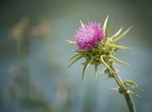 Selective Focus Shot Of A Purple Milk Thistle Plant