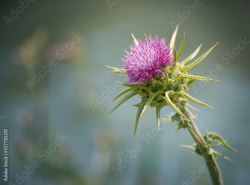 Obraz na plátně Selective focus shot of a purple Milk Thistle plant
