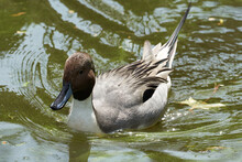Pintail Or Northern Pintail An...