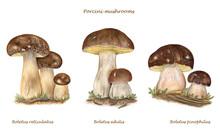 Scientific Illustration Of Different Species Of Porcini Mushrooms: Boletus Reticulatus, Boletus Edulis, Boletus Pinophilus