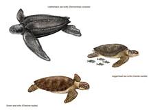 Scientific Illustration Of 3 Species Of Sea Turtles: Leatherback Sea Turtle (Dermochelys Coriacea), Loggerhead Sea Turtle (caretta Caretta) And Green Sea Turtle (Chelonia Mydas)