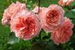 canvas print picture - Rose Blarney 2012 in blossom - Rose Blarney in Bluete