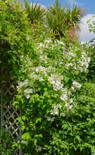 Mock Orange Bush In Flower