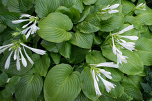 Closeup Of Hosta (Funkia, Host...
