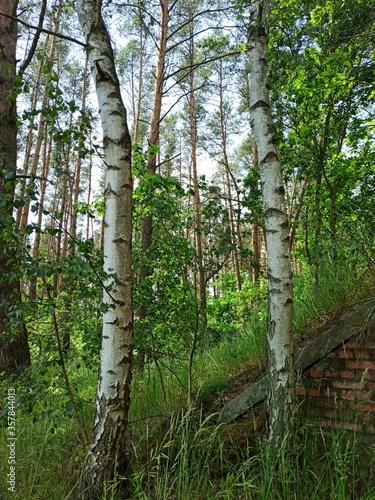Brzozy na skraju lasu. - 357844013