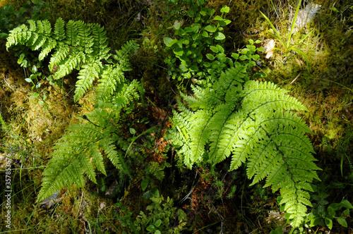 Belle fougère sur sol tapissé de mousse dans la forêt humide du parc national de Killarney dans le comté de Kerry en Irlande Fototapet
