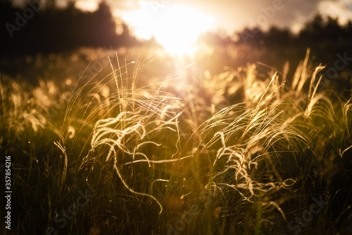 Photo Wild feather grass in the forest meadow at sunset