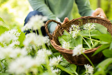 Close Up Of Woman Picking Wild Garlic In Woodland Putting Leaves In Basket