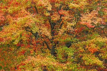 Panel Szklany Drzewa Autumn landscape of maple tree in peak color, Yankee Springs State Park, Michigan, USA