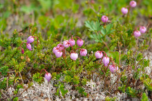 Flora Of Kamchatka Peninsula: A Close Up Of Tiny Pink Flowers Of Phyllodoce Caerulea (blue Heath, Purple Mountain Heather Or Blue Mountainheath), Growing Among The Silvery Lichens