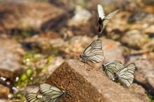 Three Butterflies Sit On A Roc...