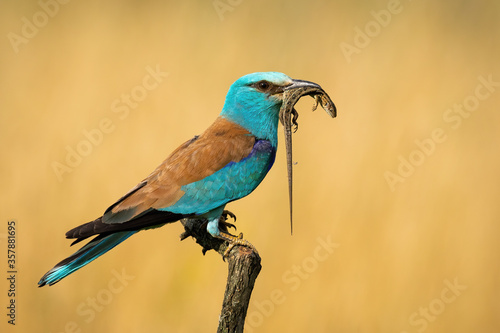 Fotografia European roller, coracias garrulus, siting still with reptile in beak from side view