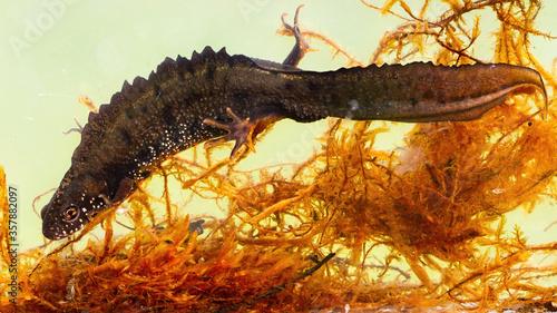 Fotografie, Obraz Male danube crested newt, triturus dobrogicus, hiding between water grass on bottom of river