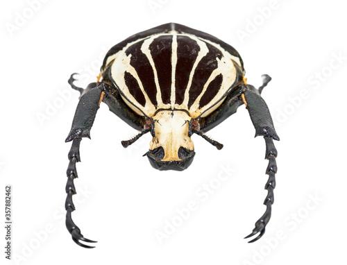 Goliath beetle (Goliathus goliathus) isolated against white background Fototapet