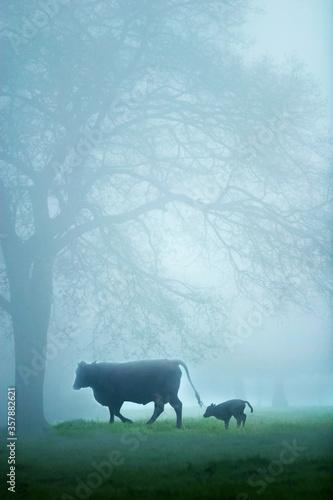 Fototapeta cow and her calf at dawn in Campo Grande, Mato Grosso do Sul, Brazil