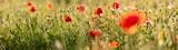 Fototapeta Kwiaty - Poppy flowers in the field, Warsaw, Poland