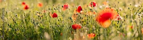 Obraz na płótnie Poppy flowers in the field, Warsaw, Poland