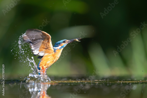 Canvastavla Common Kingfisher comming out of the water after diving for fish in the Netherla