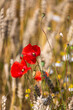 Red poppies in the open air, with blue, green and white backgrounds. with daisies, cornflowers.