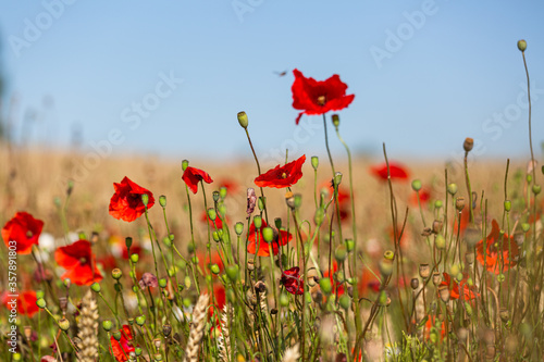 Fototapety, obrazy: red poppies in a cereal field with green and yellow backgrounds