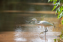 Little Egret Fishing In The Shallows Of Lake Victoria In Uganda.