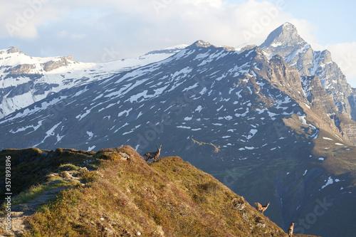 Tablou Canvas Capricorn Alpine Ibex Capra ibex Mountain Swiss Alps