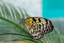 Butterfly Paper Kite Butterfly Sitting On Cocoon  Macro Nature