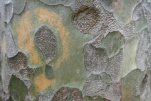 Lace Bark Pine Tree