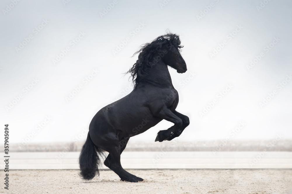 Fototapeta black horse running
