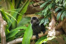 Goeldi's Monkey Among The Vegetation Of A Tropical Jungle