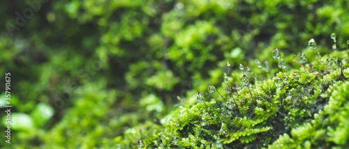 Foto close up pattern bright Green moss grown up and Drop of water cover the rough stones and on the floor in the forest