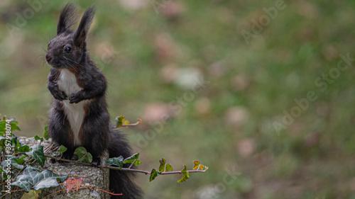 Valokuva Eichhörnchen auf der Hut vor Raubtieren