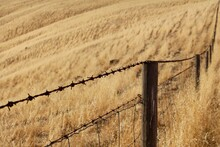 Barbed Wire Fence On A Wheat Field
