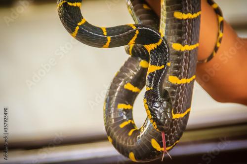 Photo Cute mangrove snake on hand of the expert