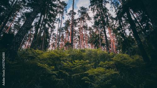 Fototapeta Tuchola Woods / Bory tucholskie obraz