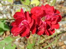 Kwitnące Róże