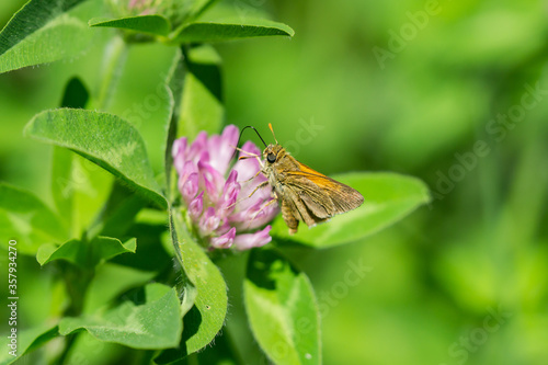 Tawny Edged Skipper Feeding on Red Clover Flowers Canvas-taulu